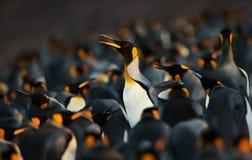 Pinguim de rei que faz a maneira através de um grupo de pinguins imagem de stock royalty free