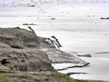 Pinguim de Rockhopper, chrysocome do Eudyptes, ilha dos receptores acústicos, Falkland Islands-Malvinas Imagem de Stock