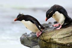 Pinguim de Rockhopper, chrysocome do Eudyptes, saltando no mar, água com ondas, pássaros no habitat da natureza da rocha, s preto imagem de stock