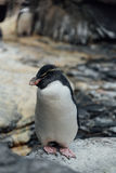 Pinguim de Rockhopper no jardim zoológico Foto de Stock