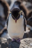 Pinguim de Rockhopper que está na rocha que olha para baixo Foto de Stock