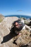 Pinguim de Rockhopper que grita Fotografia de Stock