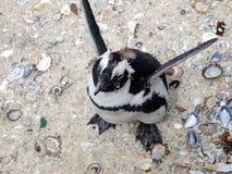 Pinguim do flapping Fotos de Stock Royalty Free