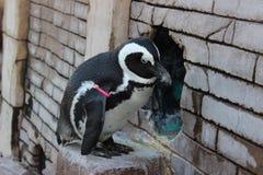 Pinguim do jardim zoológico imagem de stock