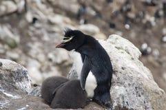 Pinguim do sul de Rockhopper com pintainhos gêmeos imagem de stock