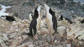 Pinguim dois Chinstrap que está perto do ninho vazio nas colônias filme