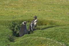 Pinguim e pintainho de Magellanic na ilha mais desolada Fotografia de Stock