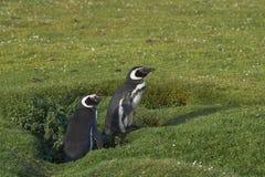 Pinguim e pintainho de Magellanic na ilha mais desolada Fotos de Stock Royalty Free