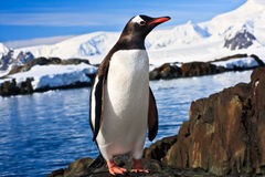 Pinguim em Continente antárctico Fotografia de Stock