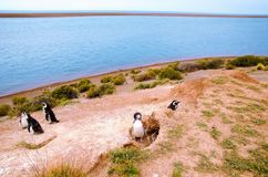 Pinguim em Punta Delgada em PenÃnsula Valdés fotografia de stock