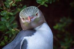 Pinguim eyed amarelo que olha esta maneira fotos de stock royalty free