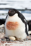 Pinguim fêmea de Adelie que incuba em ovos de ninho simples Imagem de Stock Royalty Free