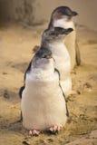 Pinguim feericamente Foto de Stock