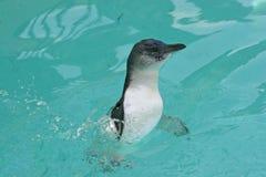 Pinguim feericamente (menor de Eudyptula) Imagens de Stock Royalty Free