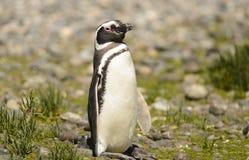 Pinguim Magellan Fotografia de Stock