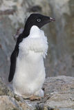 Pinguim Moulting de Adelie que está entre Foto de Stock