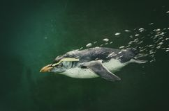 Pinguim na água Imagens de Stock Royalty Free