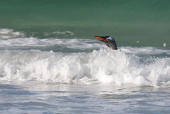 Pinguim na água Foto de Stock Royalty Free