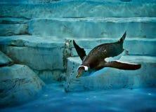 Pinguim na água fotos de stock
