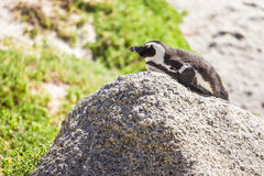 Pinguim no selvagem foto de stock royalty free