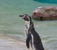 Pinguim na muda Imagem de Stock Royalty Free