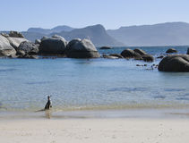 Pinguim na praia imagem de stock royalty free
