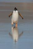 Pinguim na praia Foto de Stock Royalty Free