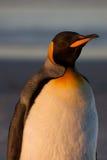 Pinguim na praia Imagem de Stock