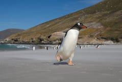 Pinguim na praia Imagens de Stock