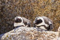 Pinguim no selvagem fotografia de stock