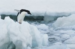 Pinguim no iceberg Foto de Stock Royalty Free