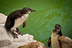 Pinguim no jardim zoológico fotos de stock royalty free