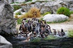 Pinguim no JARDIM ZOOLÓGICO Imagens de Stock