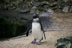 Pinguim no jardim zoológico Foto de Stock
