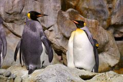 Pinguim no jardim zoológico Fotografia de Stock