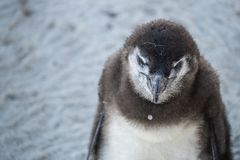 Pinguim novo na praia foto de stock royalty free