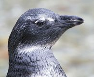 Pinguim pequeno 1 Imagens de Stock