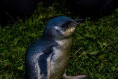 Pinguim pequeno nos animais selvagens foto de stock