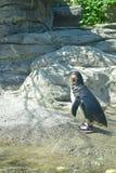 Pinguim pequeno que procura uma máscara em uma tarde quente do verão Fotografia de Stock Royalty Free