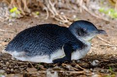 Pinguim pequeno selvagem Fotos de Stock Royalty Free