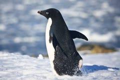 Pinguim preto e branco Imagens de Stock