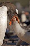 Pinguim que alimenta seus jovens Imagem de Stock Royalty Free