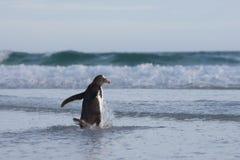 Pinguim que anda na água na praia Imagens de Stock