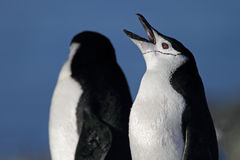 Pinguim que boceja, Continente antárctico de Chinstrap Fotos de Stock