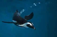 Pinguim que nada debaixo d'água na água azul Fotos de Stock Royalty Free