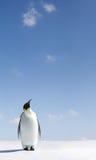 Pinguim que olha acima Fotografia de Stock Royalty Free