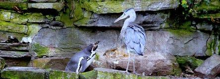 Pinguim que olha a garça-real Fotos de Stock