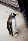 Pinguim que olha para fora através da cerca Imagem de Stock Royalty Free