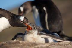 Pinguim que toma de seus jovens Foto de Stock