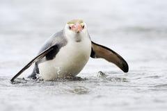 Pinguim real (schlegeli do Eudyptes) que vem para fora a água foto de stock royalty free